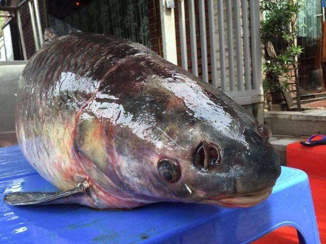 Người mua con cá từ chối tiết lộ về giá song cho biết, nếu tính theo giá thị trường cũng không dưới 30 triệu đồng.