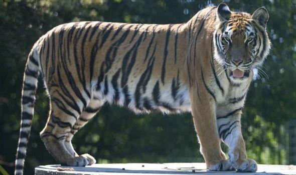 Những con hổ được cứu khỏi cảnh bị nhốt trong chuồng xiếc - 1