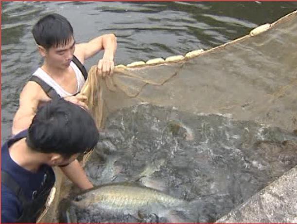 Cá Bỗng-loài cá quý được mệnh danh là cá tiến vua đang được người dân huyện Bắc Mê nuôi trong ao, hồ-nơi có nước chảy.