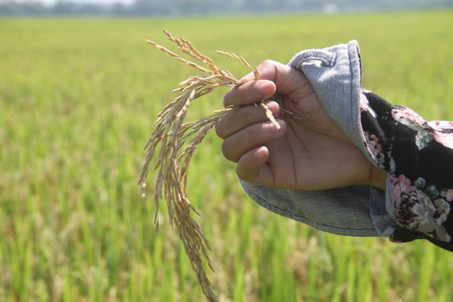 Vụ lúa Xuân năm 2017 giống lúa Thiên ưu 8 bị thiệt hại nặng nề