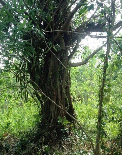 Cây đa sộp của ông Nguyễn Mẹo vẫn đang sống xanh tốt (ảnh Chi cục Kiểm lâm tỉnh Phú Yên cung cấp)