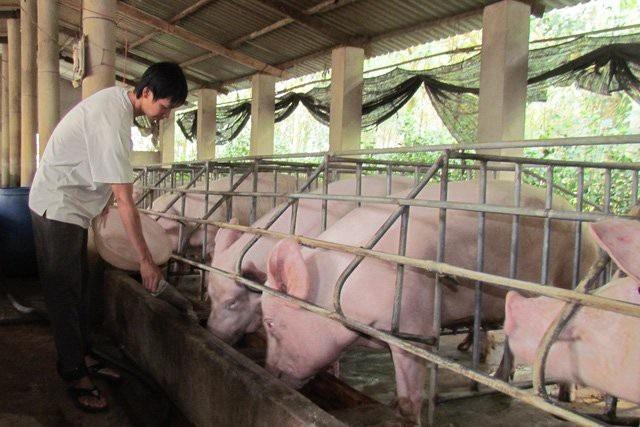 Tại nhiều địa phương, giá thịt lợn hơi xuất chuồng đã tăng lên mức 52.000-55.000 đồng/kg