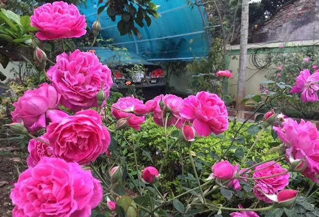Cây hồng trĩu bông.
