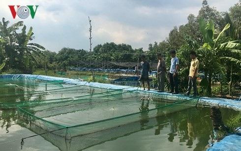 Nông dân ở nhiều nơi đến tham quan mô hình của anh Hùng và mua cá chạch lấu giống. (Ảnh: Tấn Phong).