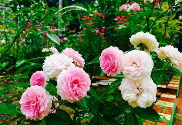 Vườn hoa 100 triệu đẹp như tranh của cô giáo dạy Toán - 4