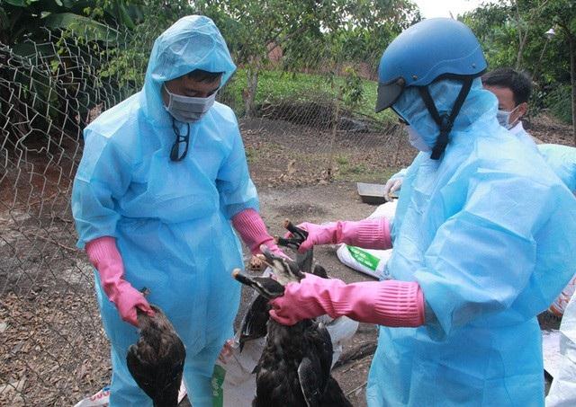 Cơ quan chức năng tỉnh Đắk Lắk tiến hành tiêu hủy gia cầm nhiễm bệnh