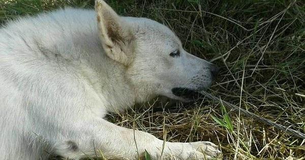 Chú chó cắn chặt sợi dây điện bị đứt để cứu mạng chủ nhân