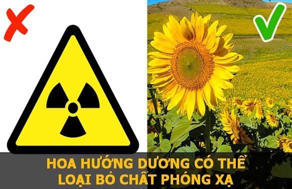 Một số đồng vị phóng xạ có sự tương đồng lớn với chất dinh dưỡng mà hoa Hướng Dương thường sử dụng. Do đó, loài hoa này sẽ hấp thụ luôn các chất phóng xạ đó trong đất, để sử dụng như nguồn thức ăn.