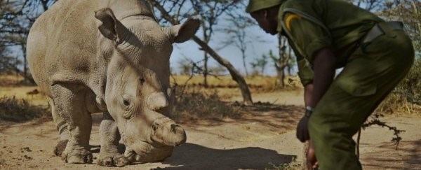 Thụ tinh trong ống nghiệm có thể cứu loài tê giác trắng khỏi sự tuyệt chủng - 1
