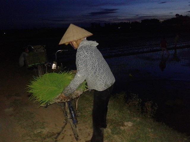 Nắng nóng kỷ lục, người Hà Nội đi... cấy lúa đêm - 2