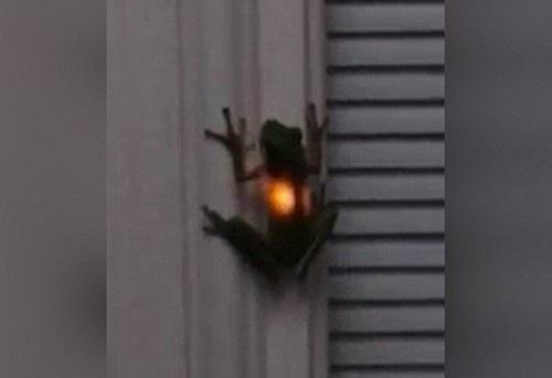 Chú ếch phát sáng trong đoạn video. Ảnh: Daily Mail