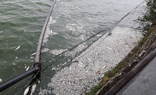 Mùi hôi thối từ cá chết ảnh hưởng đến cuộc sống của người dân sống trong khu vực (Ảnh: Phạm Công)