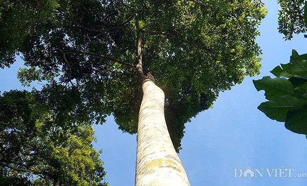 Cây trám có thân mượt, khó trèo, cành lá sum xuê và cao gần 20m.