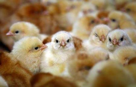 Nghề giám định giới tính gà con đem lại thu nhập 1,8 tỷ đồng/năm