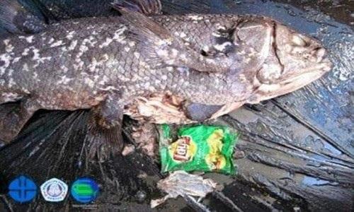 """Phát hiện điều đau lòng trong bụng loài cá """"hóa thạch sống"""" - 1"""
