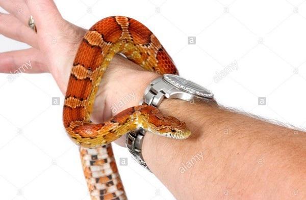 Con rắn bất ngờ rơi xuống từ trên cây và quấn chặt tay Collier (Ảnh minh họa)