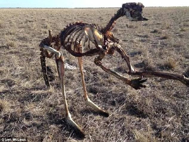 Con chuột túi bị chết khô vì hạn hán. (Ảnh: Len McLean)