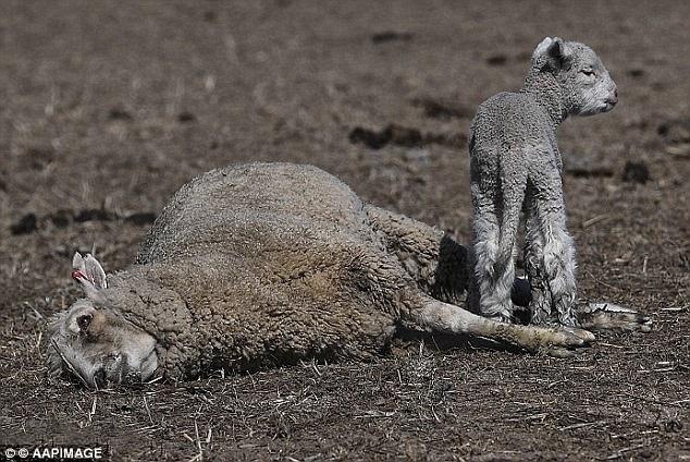 Một con cừu mẹ chết trước mặt con con do hạn hán. (Ảnh: AAPI)