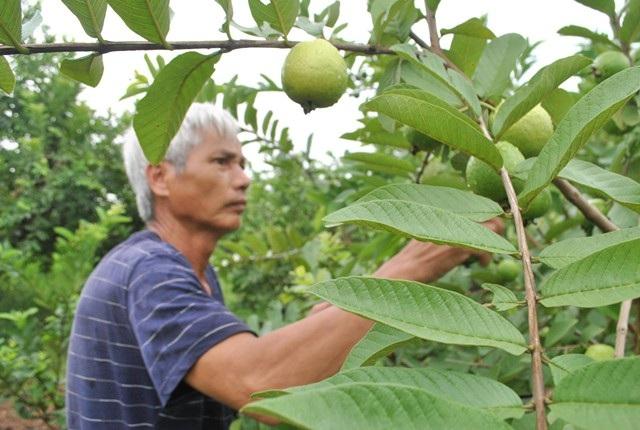 Xã Đông Dư (Gia Lâm, Hà Nội) nằm bên sông Hồng, nơi có những bãi bồi phù sa màu mỡ, trồng được nhiều loại cây ăn quả, trong đó nổi tiếng nhất là ổi găng thơm ngon được người tiêu dùng ưa chuộng.