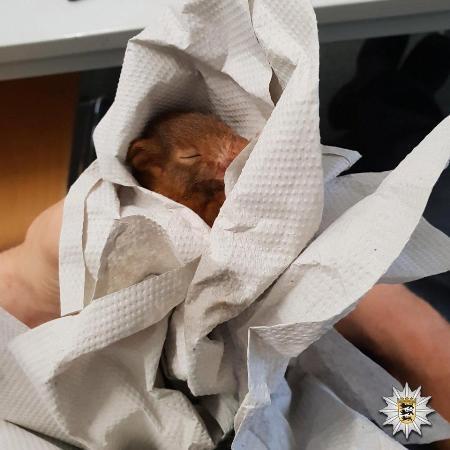 Con sóc ngủ vì mệt mỏi sau khi đuổi theo người đàn ông vô danh