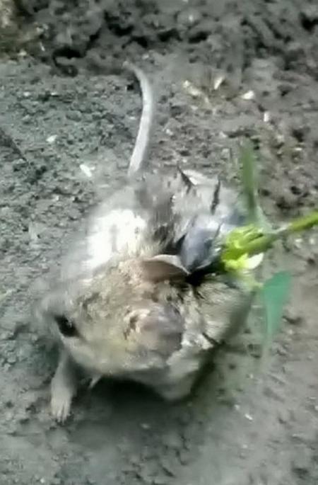 Con chuột bị phát hiện khi người nông dân kiểm tra vụ mùa vào ngày 7/8