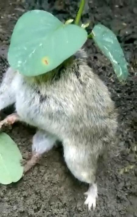 Cây đậu nành phát triển rất tốt...