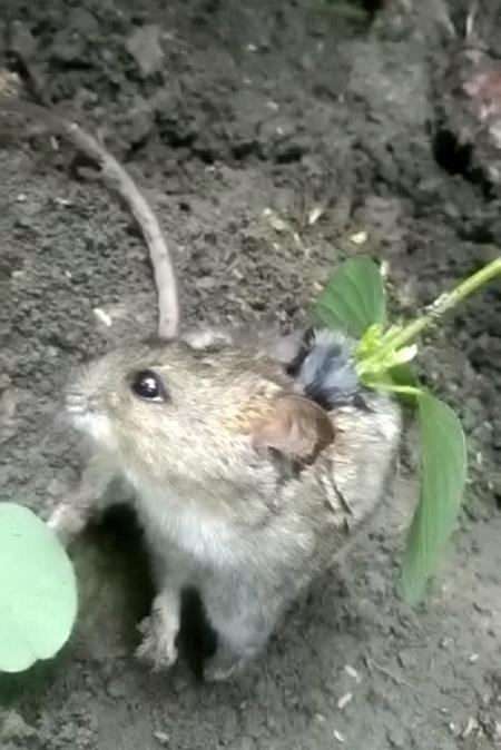...trong khi con chuột phải chịu nhiều đau đớn