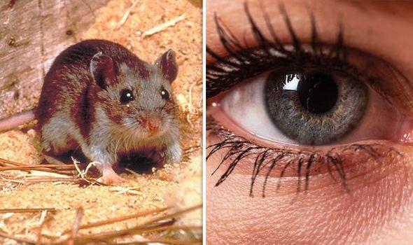Thành công  khôi phục thị lực ở chuột nhờ liệu pháp gien - 1