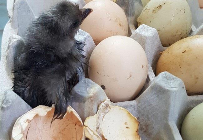 Trứng gà bị phơi ngoài nắng đã tự nở thành gà con (Ảnh: Yonhap)