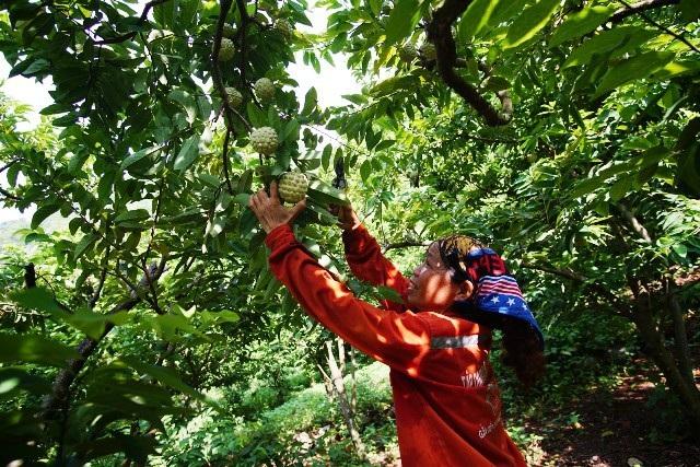 Người dân xã Chi Lăng, huyện Chi Lăng, Lạng Sơn đang thu hoạch na