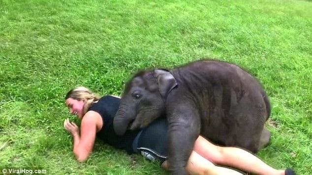 Nữ du khách được chú voi con Suki ôm chặt và đùa giỡn không ngừng
