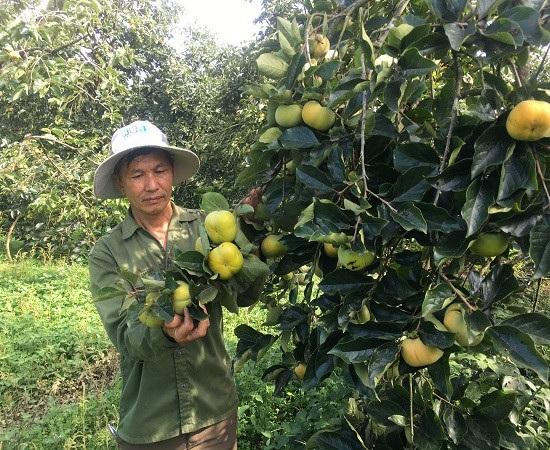 Từ khi chuyển sang trồng hồng giòn, đời sống kinh tế của gia đình ông Quyết đã có của ăn của để.