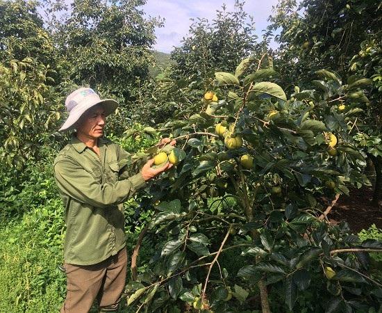 Ông Quyết thường xuyên kiểm tra quá trình phát triển của hồng giòn tại vườn.