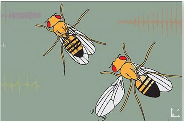 Bí ẩn đôi cánh biết hát của ruồi giấm - 1