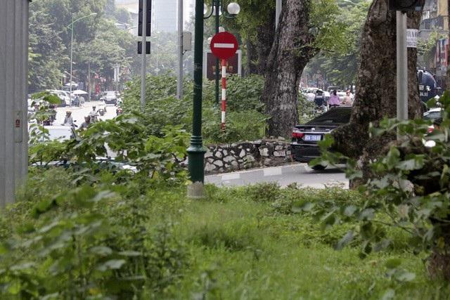 Dải phân cách cứng giữa phố Giảng Võ (quận Ba Đình, Hà Nội) thời gian gần đây giống như bãi hoang vì cây dại mọc um tùm không có người cắt tỉa. (Ảnh: Hữu Nghị)