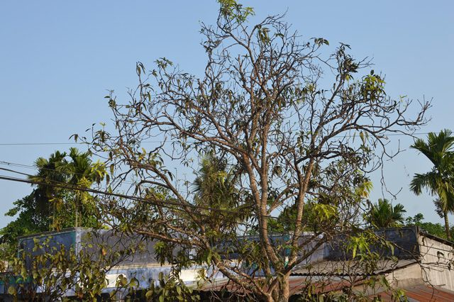 Nhiều cây cối xơ xác vì bị ảnh hưởng bởi khói, bụi than.