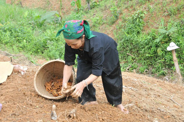 Người dân bản Huồi Sơn (xã Tam Hợp, Tương Dương, Nghệ An) thu hoạch nghệ đỏ (ảnh Vương Hưng)