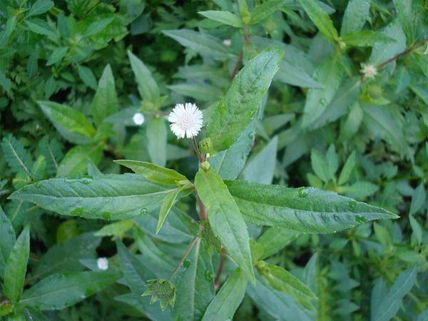 Cỏ mực được gọi với nhiều tên khác nhau như cỏ Nhọ nồi, Hạn liên thảo