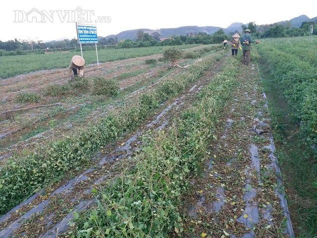 Hiện trang trại  trồng cà gai leo của anh  Hợi đang tạo công ăn việc làm thường xuyên cho 5 lao động với mức lương gần 5 triệu đồng/tháng và hàng chục lao động thời vụ khác.