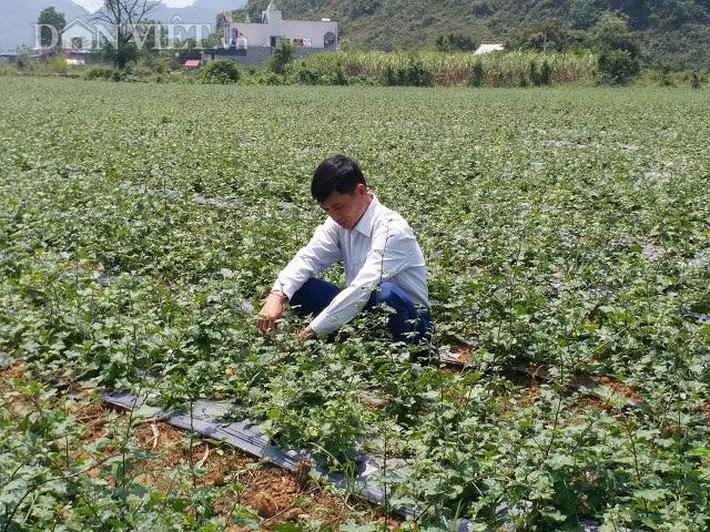 Nhờ trồng cà gai leo mà mỗi năm gia đình anh Hợi bỏ túi gần 1 tỷ đồng.