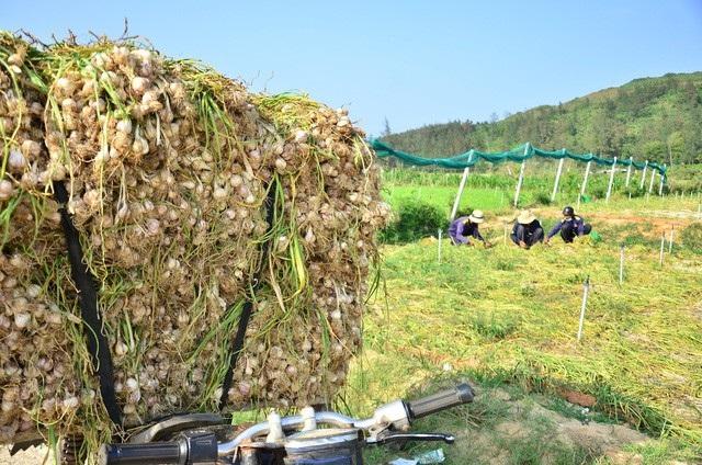 Tỏi Lý Sơn đang được thu mua ở mức 45 - 50 ngàn đồng/kg, đây là mức giá thấp nhất trong vòng nhiều năm qua