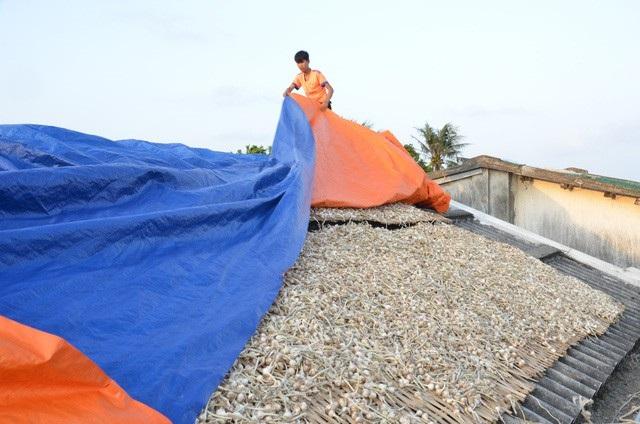 Huyện Lý Sơn đang tìm đầu mối tiêu thụ gần 1.000 tấn tỏi khô cho người nông dân với mức giá hợp lý