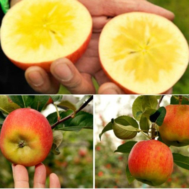 Táo mật mặt trời là giống táo hiếm và quý không chỉ của Nhật Bản mà của cả thế giới.
