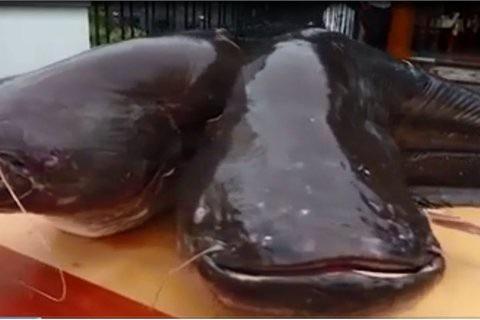 Cá khổng lồ Campuchia, vỏ bưởi tận thu Thái Lan: Người Việt gom về ăn - 1