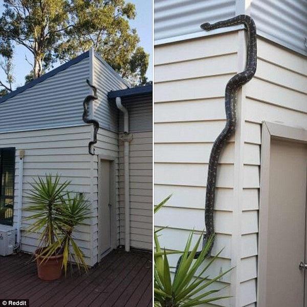 Knills đã không ngờ rằng con trăn lại có thể trườn lên bức tưởng dựng đứng của nhà mình như vậy