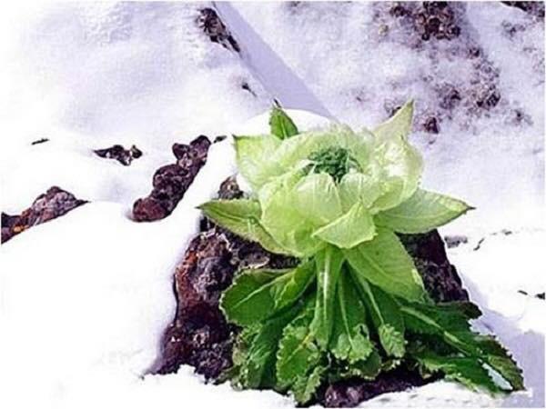 Thiên sơn tuyết liên được còn được gọi là hoa sen mọc trên núi tuyết ở Tân Cương hoặc Tây Tạng (Trung Quốc)