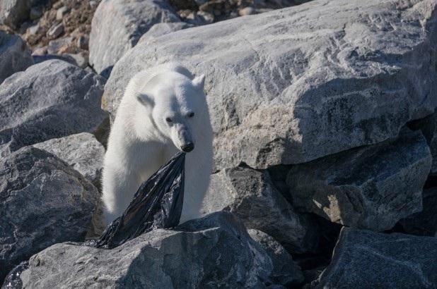 Bức ảnh Gấu bắc cực nhai túi nhựa tăng lo ngại về vấn đề rác nhựa đại dương - 1