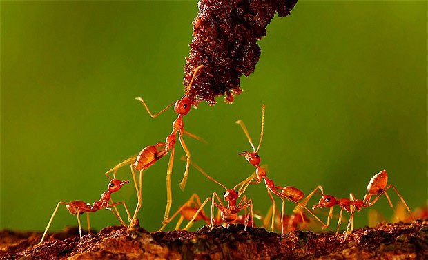 """Bạn có biết vì sao một đàn kiến hàng ngàn con không bao giờ bị """"tắc đường""""? - 2"""