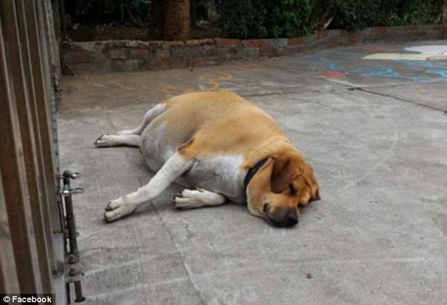 Hài hước chú chó phát phì vì được học sinh cho ăn quá nhiều - 2
