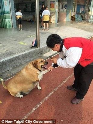 Hài hước chú chó phát phì vì được học sinh cho ăn quá nhiều - 4